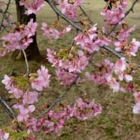 代々木公園の河津桜・・2
