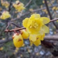 [#3522] 2月,3月に撮った花の写真(5)ロウバイ