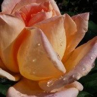 『秋のバラ』 夢想