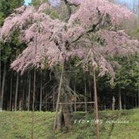 桜観る日々・その2 ~気高くたたずむ孤高のしだれ桜@龍興寺