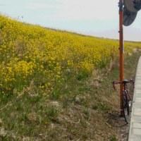 菜の花ロードサイクリング