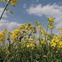 西都原古墳群の菜の花