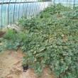 カボチャの「放任と養殖」