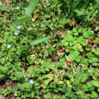 林縁にヘビイチゴの赤い実とオオイヌノフグリの青い花