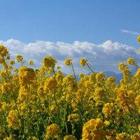 吾妻山公園で菜の花を見てきた