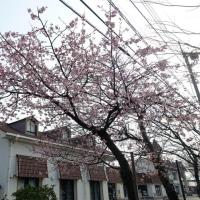 米子の今井書店、本の学校の桜