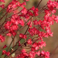 真っ赤なツボサンゴ