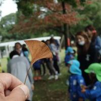 このイチョウの葉で草笛をしました。園児たちも挑戦しました。