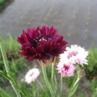 洗濯日和と花