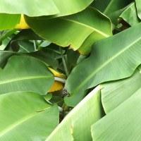 バナナの移動