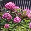 鎌倉の紫陽花(6-22)