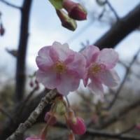 早咲きの桜が開花しました!
