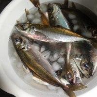 水温18℃ 真鯛のはえ縄漁は大漁、適温だなーー