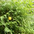 八重ヤマブキの花