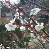今年の梅の花はどちら向き?早春の気候不順に備える。