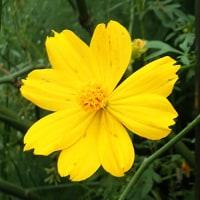 黄花コスモスが咲いています