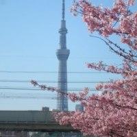 河津桜を見てきた
