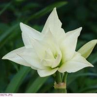 アマリリス 〈白色の八重咲き花〉