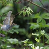 野鳥観察 センダイムシクイ