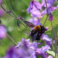 熊蜂が花大根に飛来