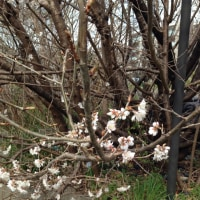 サクランボウの花
