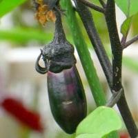 六月の猫ビタイ庭の家庭菜園・・・キュウリ・・・茄子・・・が順調です