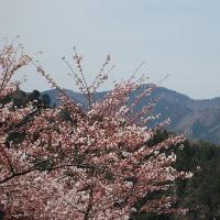 まだこれからも桜・・・