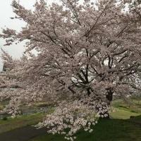 桜が終わってしまいました