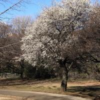 1月中旬の砧公園で 木瓜、素心蝋梅、紅梅、白梅