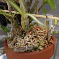 石斛の新芽