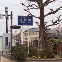 柳の木下の水仙。浅野川大橋。