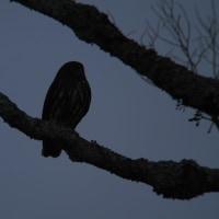 今日の鳥見3・アオバズク