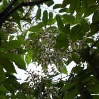 第141回いずみの国の自然館クラブ観察会~東槇尾川周辺~ 2「超幸運、フジキの花の下で」