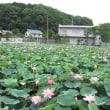 【滋賀県大津市】今年もハスの花が咲き始めました