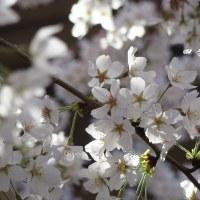 桜  サクラ       四季彩の詩   より