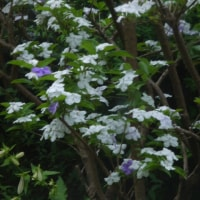 シモツケと言う花が咲きました