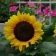 ミニ系向日葵とカリブラコアそしてペチュニア