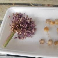 玉葱&ジャンボ大蒜を無事収穫~🎵