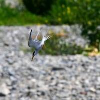 コアジサシ飛翔、イソシギ飛翔、ユリカモメ飛翔、