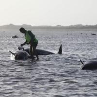 NZ南島・クジラ200頭が浜に 2015年02月