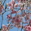 またまた桜。。。
