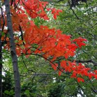 樹木ウォッチング冬から夏へ202ツタウルシ3
