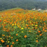 山裾のコスモス畑&ケイトウ畑
