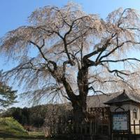 地久院のしだれ桜・北広島町