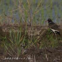 今日の鳥コレクション・・・タマシギ