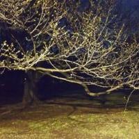 代々木公園の桜はまだかな