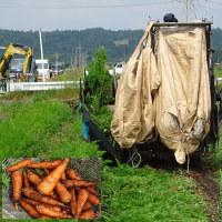 機械で収穫する人参。
