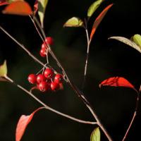 カマツカ の赤い実