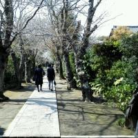 「極楽寺」開花宣言