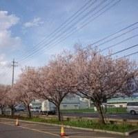 桜!まだ咲いています